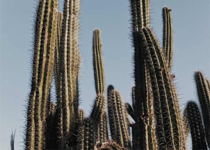 Echinopsis salvaje