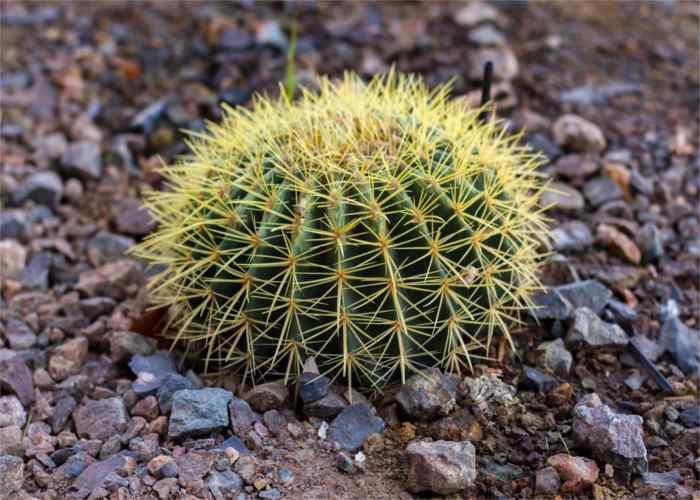 Cactus genero mammillaria