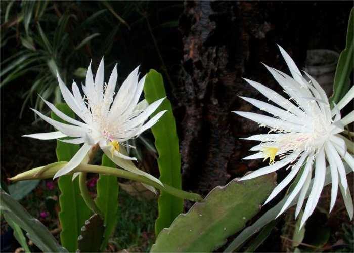 Imagen de Epiphyllum