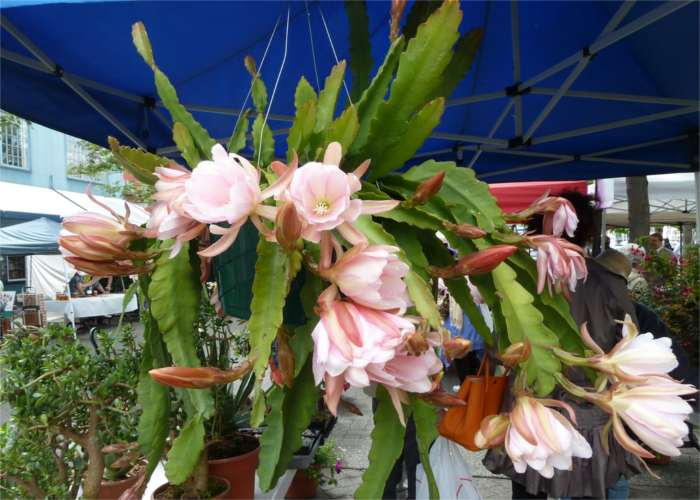 Imagen de Epiphyllum macetero