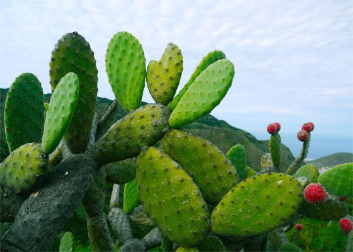Imagen de Opuntia-ficus-indica